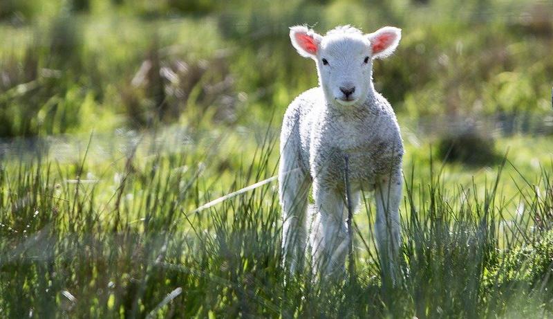 vaccinate sheep lamb Clostridial Disease diseases CDT