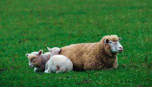 sheep lambs ewe