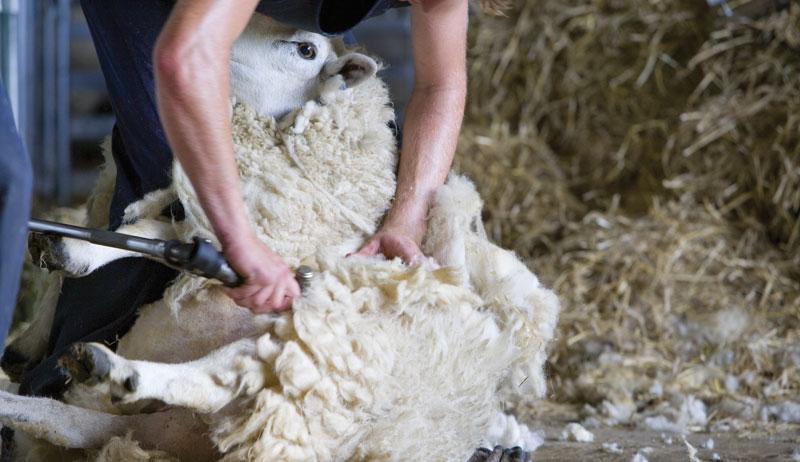 small-farm sheep shearing ruminant ruminants
