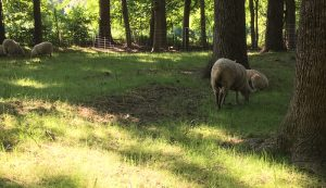 sheep silvopasture weeds weed plants