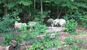 sheep weeds weed silvopasture woods plants