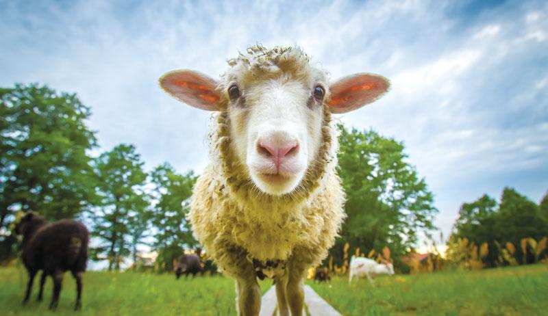 sheep small-farm ruminant