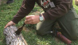grow shiitake mushrooms