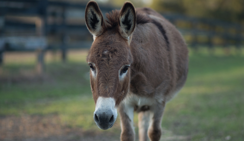 livestock guardian animals donkey