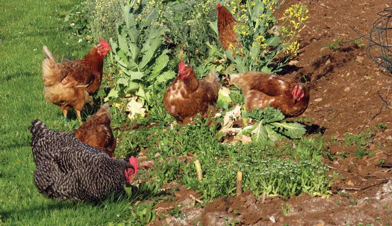pastured pasture chickens garden