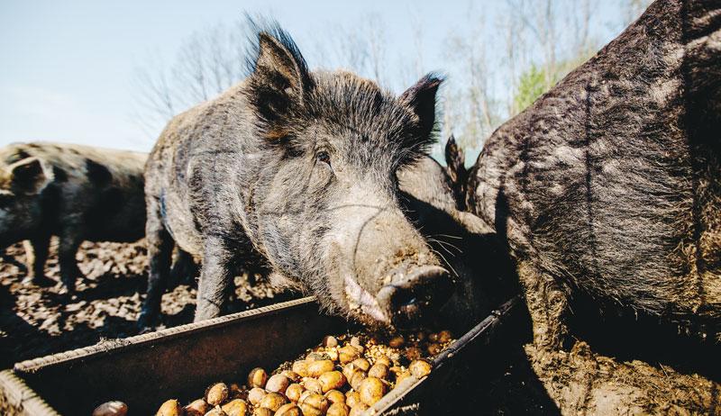 livestock feed crops garden