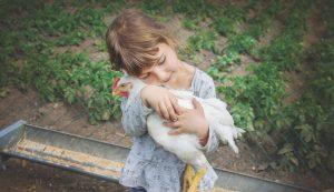 chicken chickens poultry salmonella
