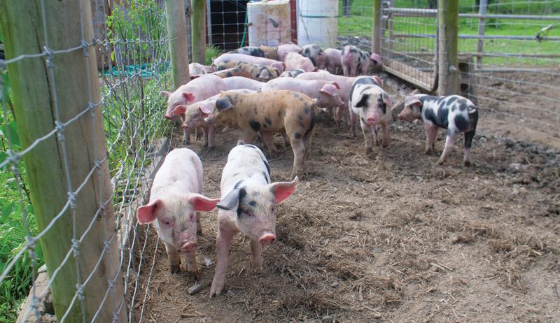 pigs raised on pasture