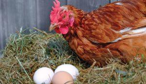 omega-3 fatty acids chickens