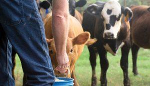beef cattle bucket