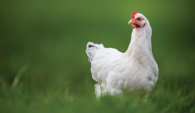 keeping chickens chicken