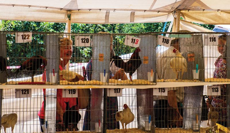 chicken show shows