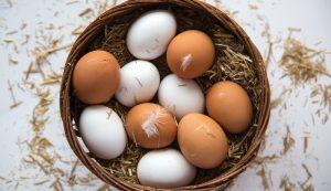 salmonella chickens chicken backyard flock
