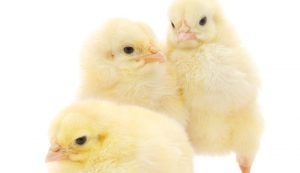 spring chicks chickens