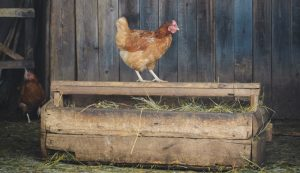 chicken euthanasia