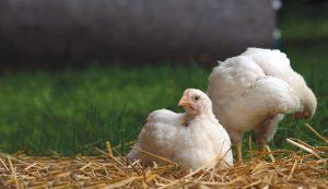 chickens chicken meat off-grid