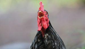 chicken cursing
