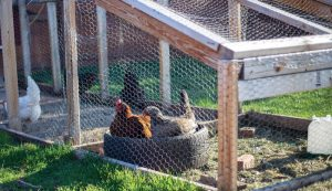 cooped chickens