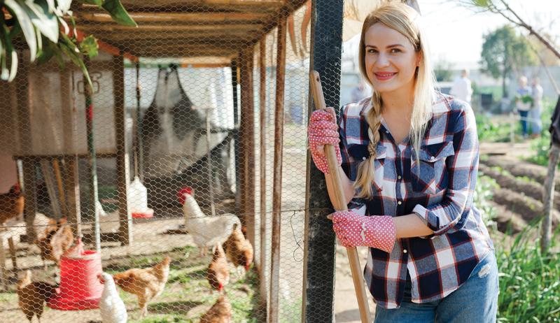 chickens chicken backyard flock salmonella