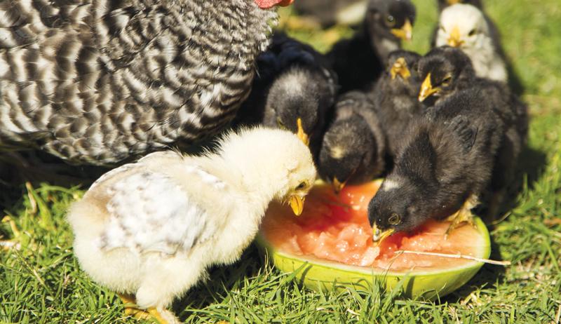 cool chicken treats summer