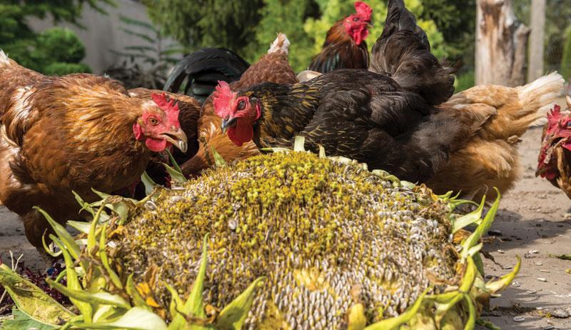 chickens chicken feed non-GMO GMO genetically modified