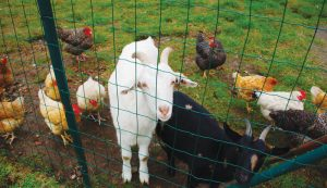 goats chickens pasture pasturing together