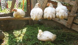 keeping chickens roosts