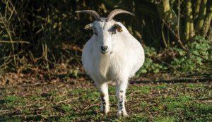 goat pregnancy
