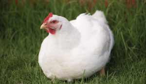 essential nutrients chicken feed