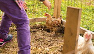 chicken chickens stress