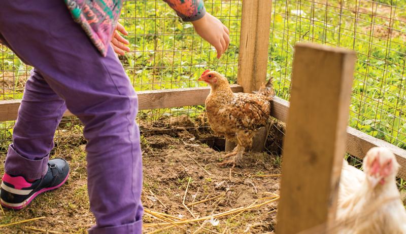 sudden unexplained chicken death