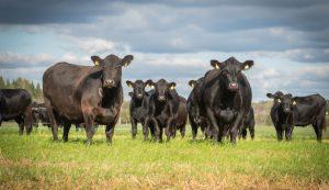 cattle heat summer cows