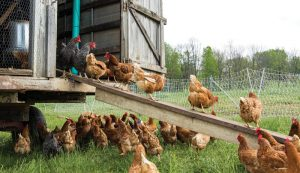 types of chicken feed feeds layers