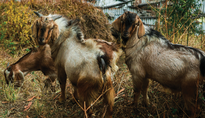 goat health