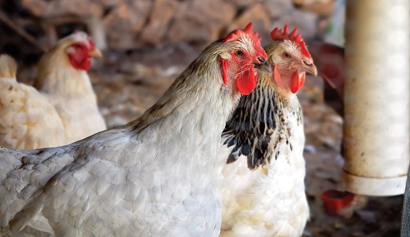 nesting box chicken chickens