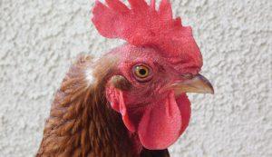 chicken chickens molt molting