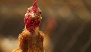 chicken offal recipes