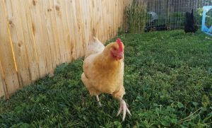 quiet chickens urban backyard
