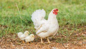 chicken chickens salmonella backyard flock