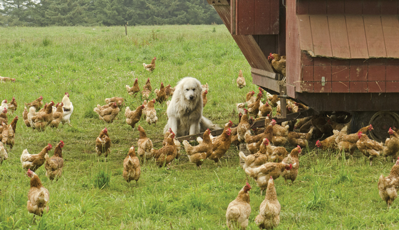 livestock guardian animals dog Great Pyrenees