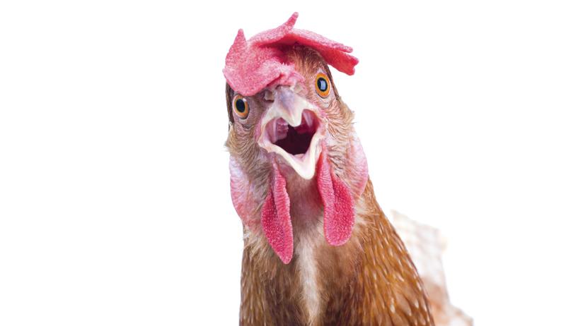 chicken toxicity