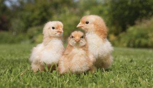 fall flock chickens chicks chicken