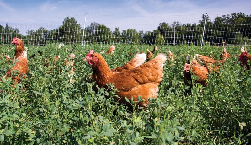 chickens chicken predator predators