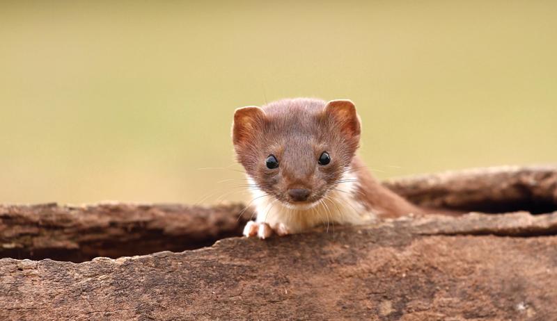 DIY weasel box