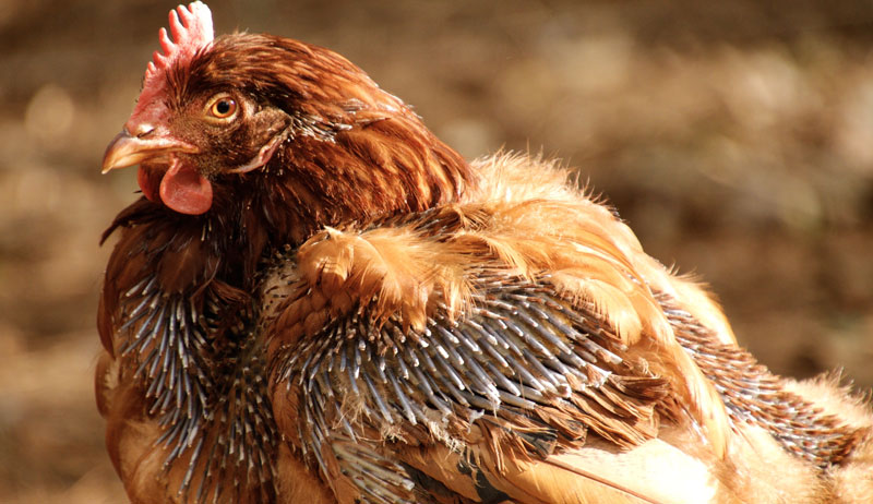 chickens molting chicken molt