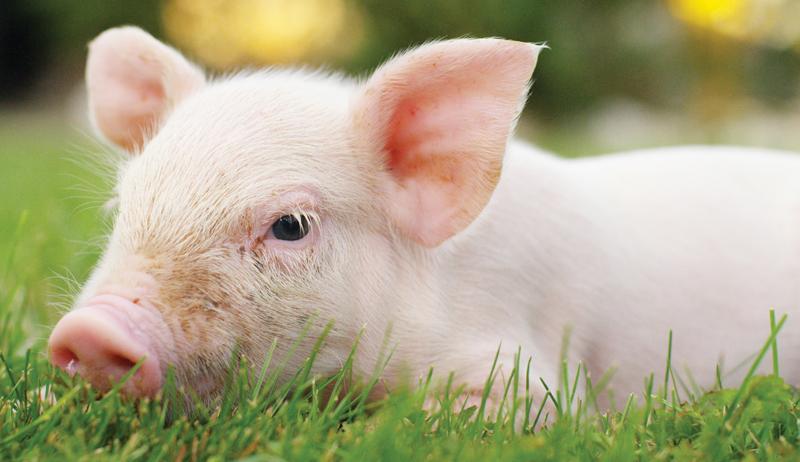 pig animal medication animals medications