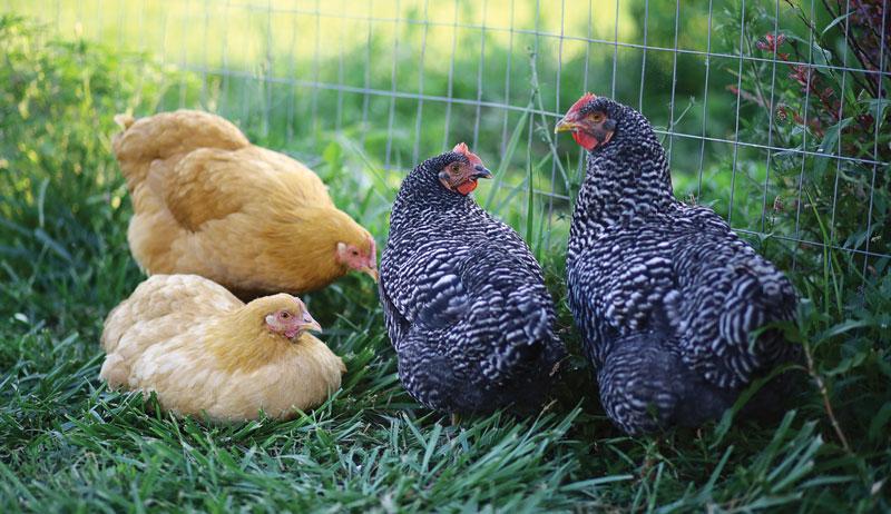 dual-purpose chicken chickens breed breeds