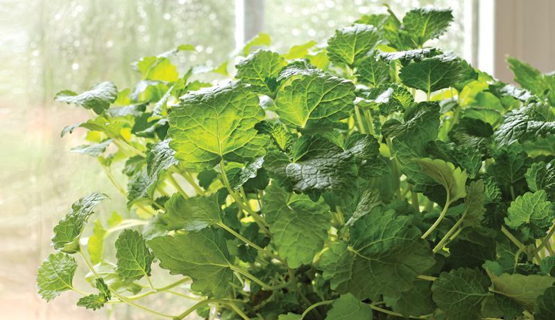 medicinal herb container garden