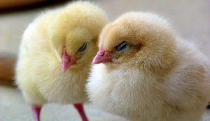 poultry dreams