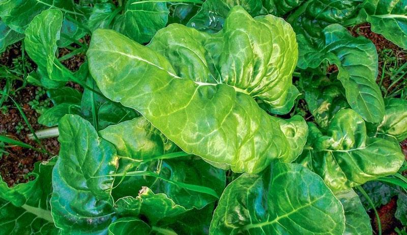 spinach garden growing ground